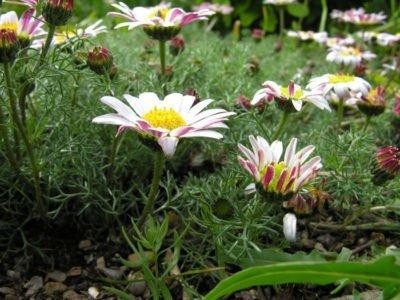 Лечебные свойства ромашки, виды ромашки, противопоказания